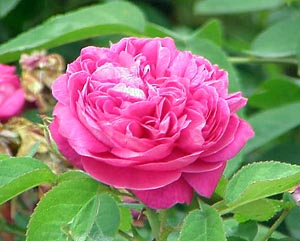 Castilian rose